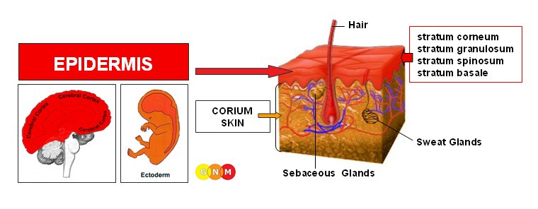 There is no particular group that is more vulnerable to contracting psoriasis 3